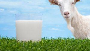 Susu Kambing dan Komposisinya
