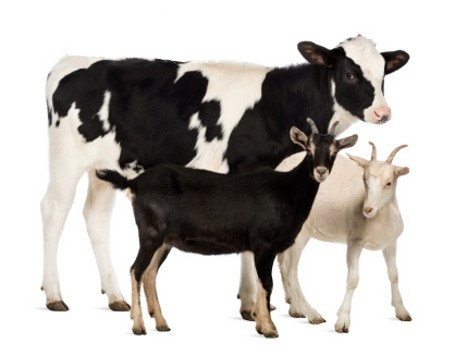Mana yang Lebih Baik? Susu Kambing vs Susu Sapi